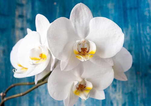 A cluster of white orchids in sharp contrast against a navy blue wall