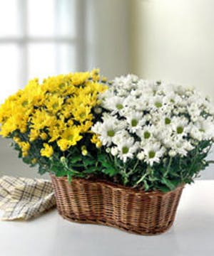 Blooming Basket of Mum Plants