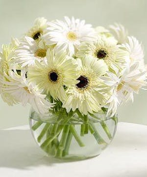 Beautiful Fresh Cut Gerber Daisies